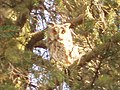 Malé Raškovce long-eared owl (asio otus) perched and resting 02 (March 2006).jpg