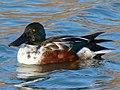 Male Anas clypeata on the pond - 2.jpg