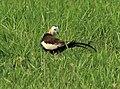 Male Pheasant Jacana at Basai Wetland.jpg