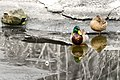 Mallard Pair Reflected (13360665774).jpg