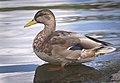 Mallard drake (50371094732).jpg