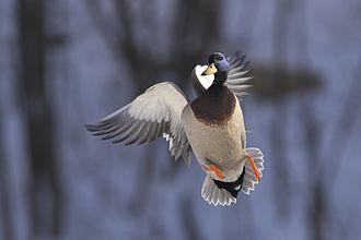 Duck - Mallard drake