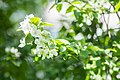 Malus in flower in Aplle Garden on Vasilyevsky Island.jpg