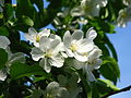 Malus kaido blossom 04.JPG