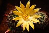 Mamillaria balsasoides flower.jpg