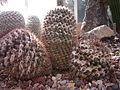 Mammillaria nagliana.jpg