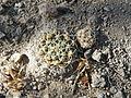 Mammillaria species (5739819229).jpg