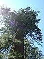 Mammutbaum Yosemite.jpg