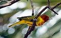 Mangrove Warbler - Flickr - GregTheBusker (1).jpg