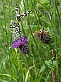 Marbled whites on knapweed - geograph.org.uk - 469988.jpg