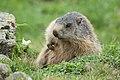 Marmota marmota sp. 04.jpg