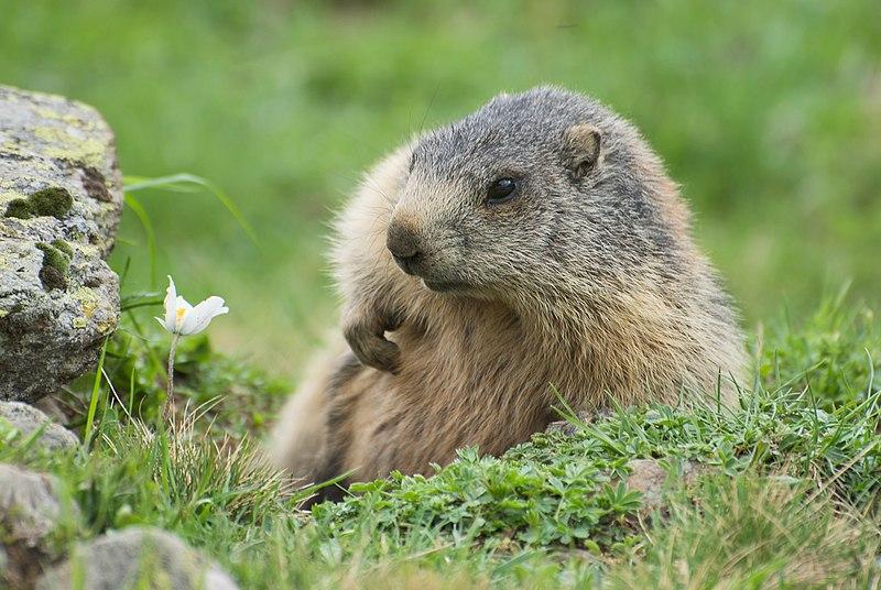File:Marmota marmota sp. 04.jpg