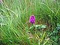Marsh Orchid on grass verge, Papa Westray - geograph.org.uk - 285149.jpg