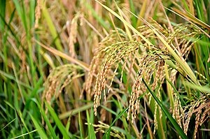 Rice production in India - Wikipedia
