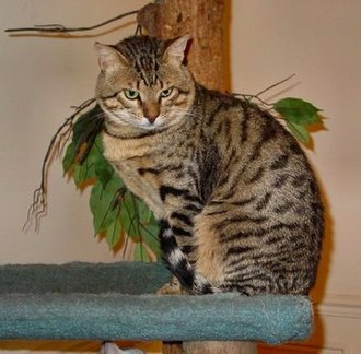 """Egyptian Mau - This Mau has the """"Mark of the Scarab Beetle"""" on his/her forehead"""