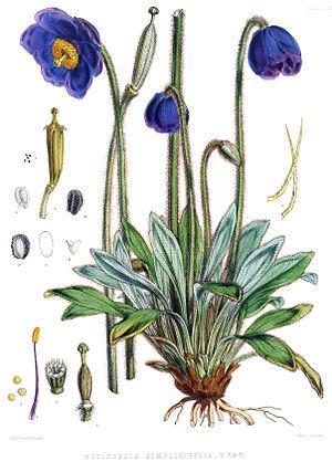 Meconopsis simplicifolia - Image: Meconopsis simplicifolia