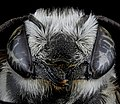 Megachile brevis, F, face, Tennessee, Haywood County 2013-02-14-15.07.03 ZS PMax (8492490302).jpg
