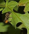 Megachile centuncularis female (22061499980).jpg