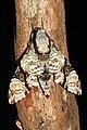 Megacorma obliqua (Sphingidae- Sphinginae- Acherontiini) (23580055901).jpg