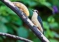 Melanerpes pucherani -near Rancho Naturalista, Cordillera de Talamanca, Costa Rica-8.jpg