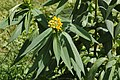 Mexican Milkweed Asclepias curassavica 'Silky Gold' Leaves.jpg