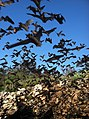 Mexican free-tailed bats (9415985486).jpg