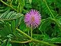Mimosa pudica 004.JPG