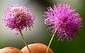 Mimosa quadrivalvis flower.jpg