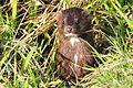 Mink on Lacreek National Wildlife Refuge 01 (13676551713).jpg