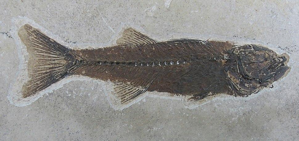 Mioplosus labracoides 01
