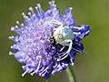 Misumena vatia (with prey).jpg