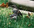 Mockingbird Feeding Chick003.jpg