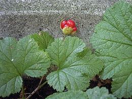 Moltebeere Fruchtstand