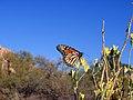 Monarch butterfly (Danaus plexippus) (14209064036).jpg