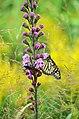 Monarch pair nectaring on liatris (44198437291).jpg