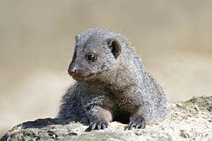 Mungos - Banded mongoose, Mungos mungo