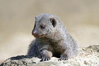 <i>Mungos</i> genus of mammals