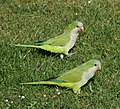 Monk parakeets in a Brussels park.jpg