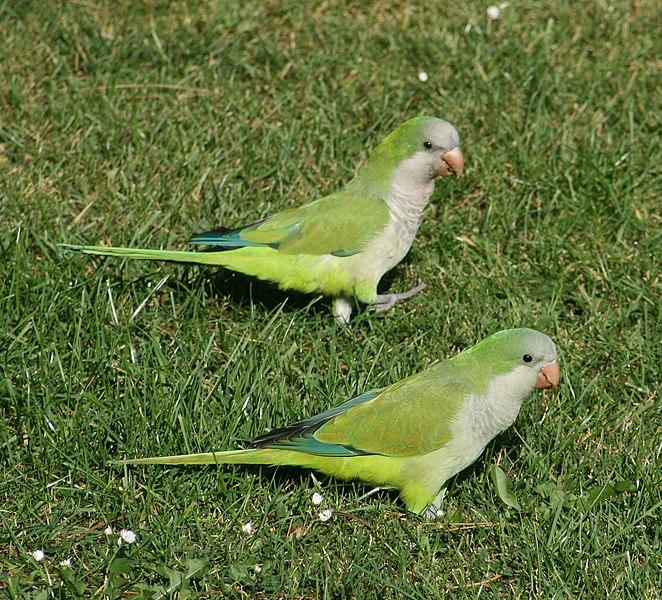 Ficheiro:Monk parakeets in a Brussels park.jpg