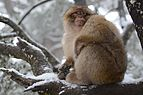 Monkey in azrou.jpg