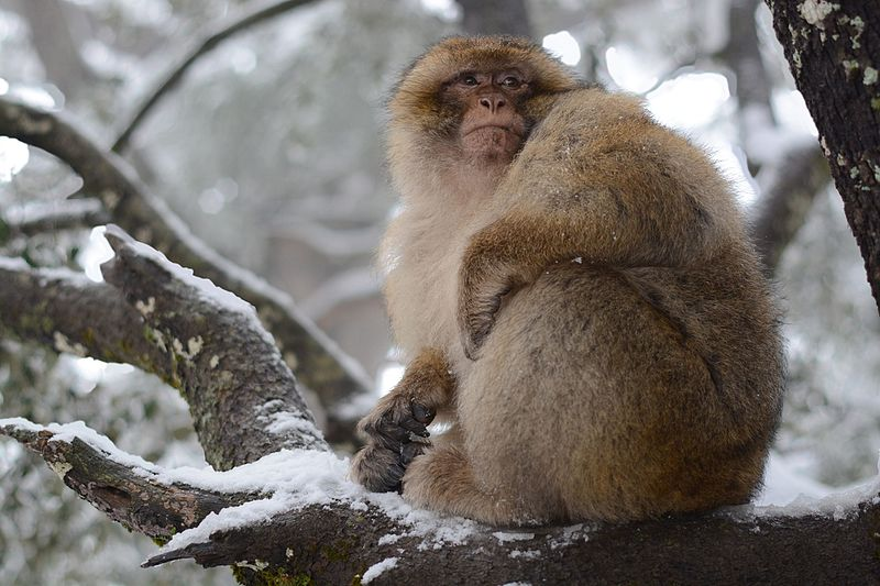 File:Monkey in azrou.jpg