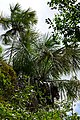 Moriche Palms (Mauritia flexuosa) (39236789505).jpg