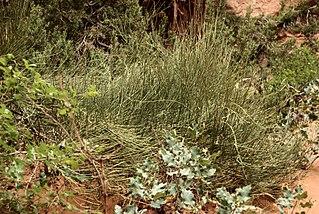 mormon tea ephedra sinica plant