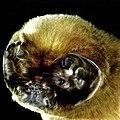 Mormoops blainvillii foto.jpg