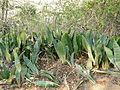 Mother-In-Laws-Tongue (Sansevieria hyacinthoides) (32263742585).jpg