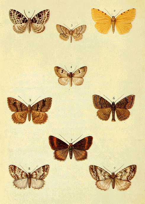 Moths of the British Isles Series2 Plate061.jpg