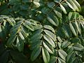 Moullava spicata (6667440149).jpg