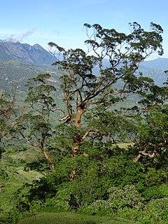 <i>Eucalyptus urophylla</i> species of plant