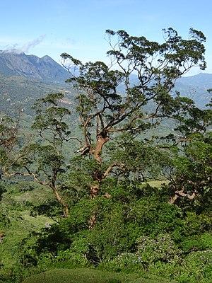 Eucalyptus urophylla - Image: Mount Loelaco mountain landscape views (6)
