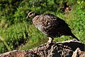Mount Rainier - September 2017 - White-tailed ptarmigan 14.jpg